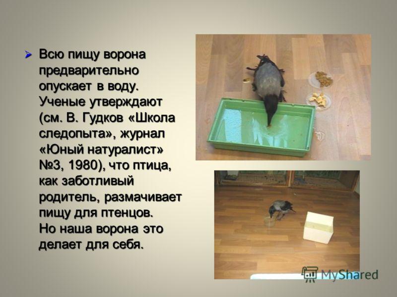 Всю пищу ворона предварительно опускает в воду. Ученые утверждают (см. В. Гудков «Школа следопыта», журнал «Юный натуралист» 3, 1980), что птица, как заботливый родитель, размачивает пищу для птенцов. Но наша ворона это делает для себя. Всю пищу воро