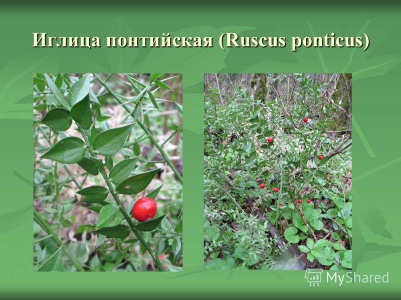 Иглица понтийская (Ruscus ponticus)