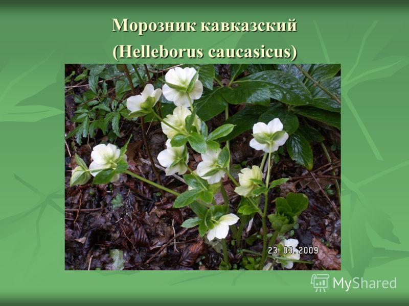 Морозник кавказский (Helleborus caucasicus)