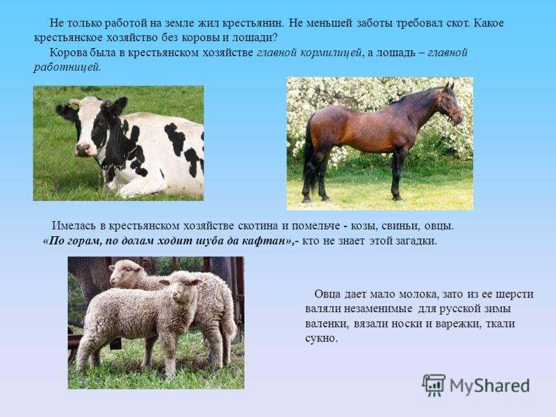 Не только работой на земле жил крестьянин. Не меньшей заботы требовал скот. Какое крестьянское хозяйство без коровы и лошади? Корова была в крестьянском хозяйстве главной кормилицей, а лошадь – главной работницей. Имелась в крестьянском хозяйстве ско