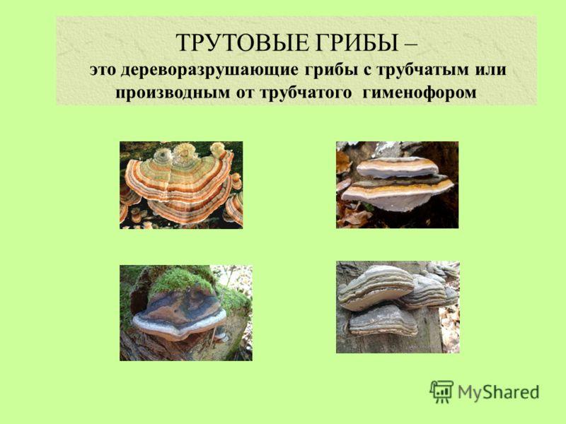 ТРУТОВЫЕ ГРИБЫ – это дереворазрушающие грибы с трубчатым или производным от трубчатого гименофором