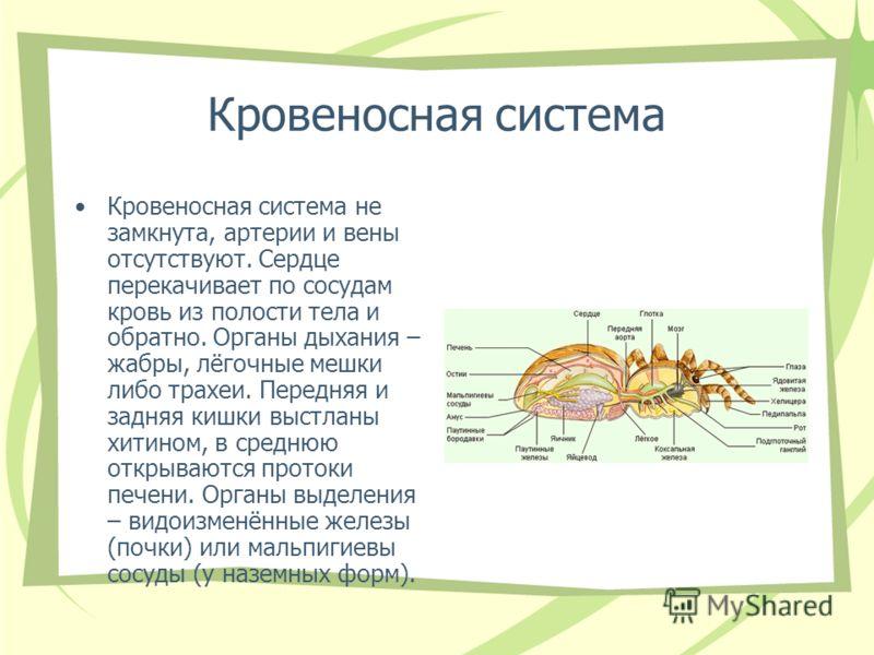 Кровеносная система Кровеносная система не замкнута, артерии и вены отсутствуют. Сердце перекачивает по сосудам кровь из полости тела и обратно. Органы дыхания – жабры, лёгочные мешки либо трахеи. Передняя и задняя кишки выстланы хитином, в среднюю о