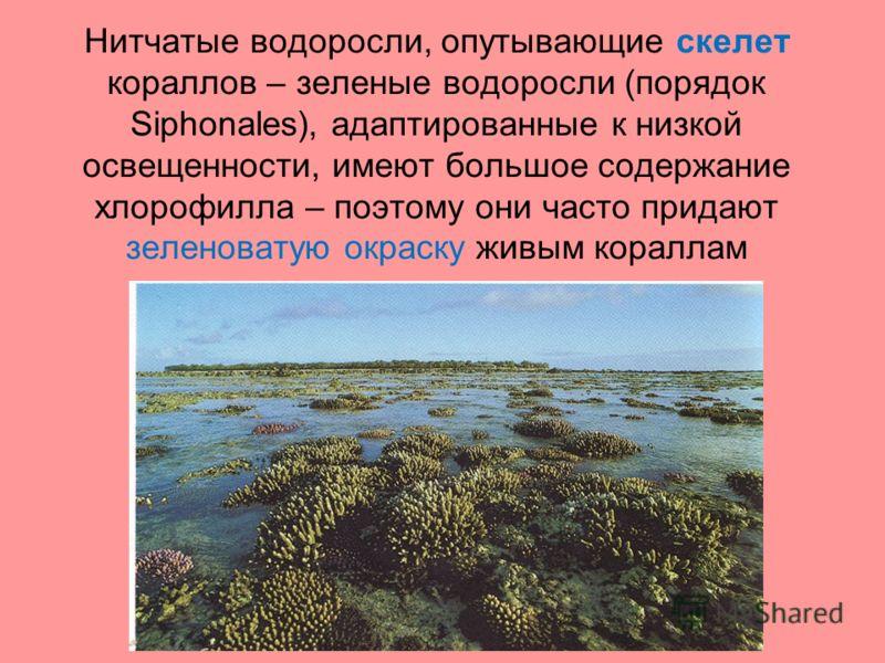 Нитчатые водоросли, опутывающие скелет кораллов – зеленые водоросли (порядок Siphonales), адаптированные к низкой освещенности, имеют большое содержание хлорофилла – поэтому они часто придают зеленоватую окраску живым кораллам