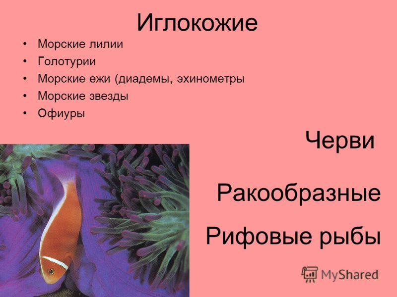 Иглокожие Морские лилии Голотурии Морские ежи (диадемы, эхинометры Морские звезды Офиуры Черви Рифовые рыбы Ракообразные
