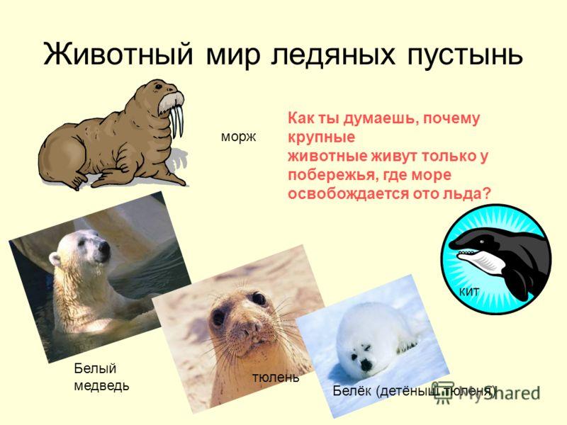 Животный мир ледяных пустынь морж Белый медведь Как ты думаешь, почему крупные животные живут только у побережья, где море освобождается ото льда? кит тюлень Белёк (детёныш тюленя)