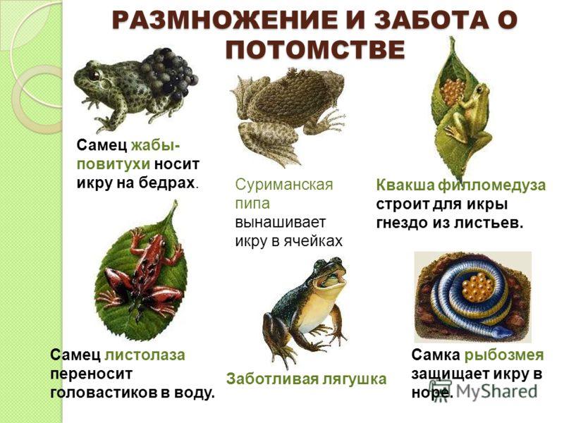 РАЗМНОЖЕНИЕ И ЗАБОТА О ПОТОМСТВЕ Самец жабы- повитухи носит икру на бедрах. Квакша филломедуза строит для икры гнездо из листьев. Заботливая лягушка С