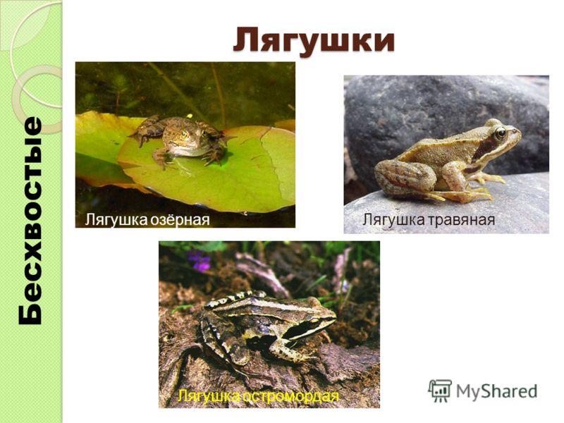 Лягушки Лягушка озёрнаяЛягушка травяная Лягушка остромордая Бесхвостые
