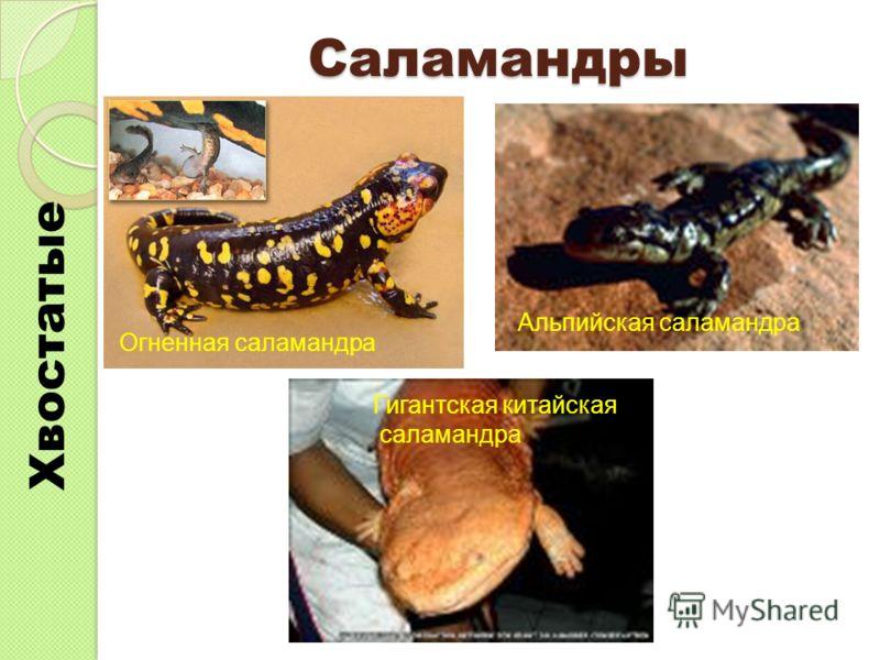 Саламандры Хвостатые Огненная саламандра Альпийская саламандра Гигантская китайская саламандра