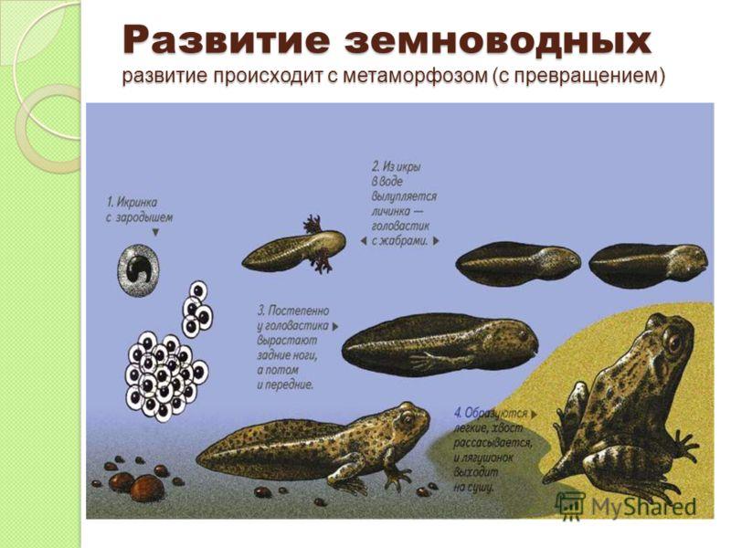 Развитие земноводных развитие происходит с метаморфозом (с превращением)