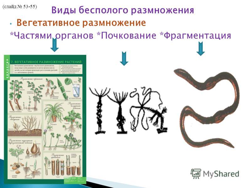 Виды бесполого размножения Вегетативное размножение *Частями органов *Почкование *Фрагментация (слайд 53-55)