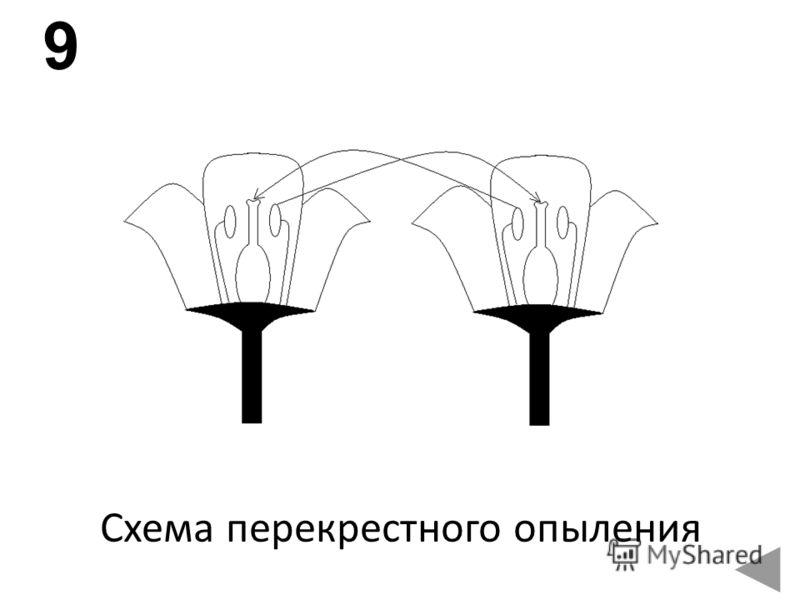 Схема перекрестного опыления 9