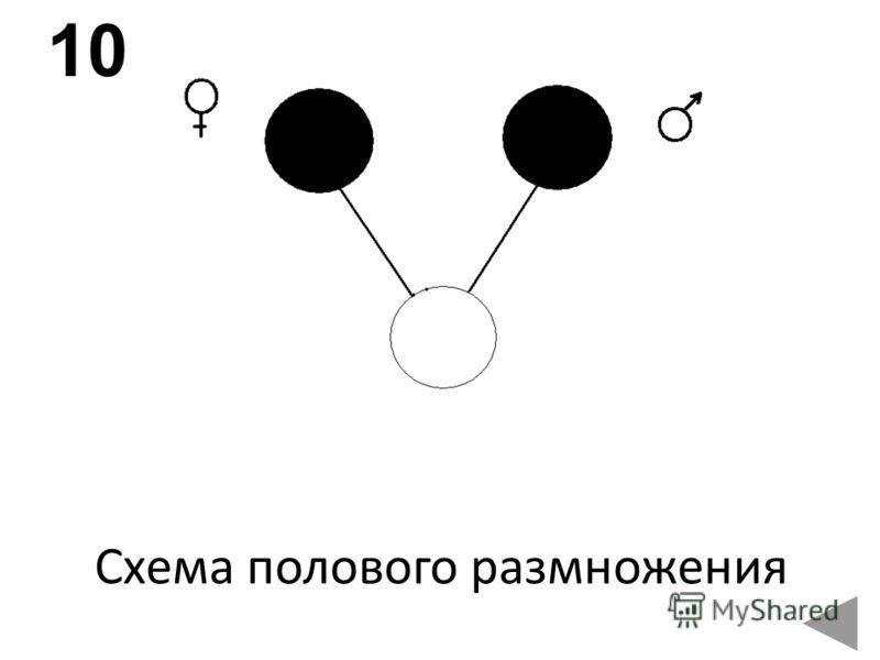 Схема полового размножения 10
