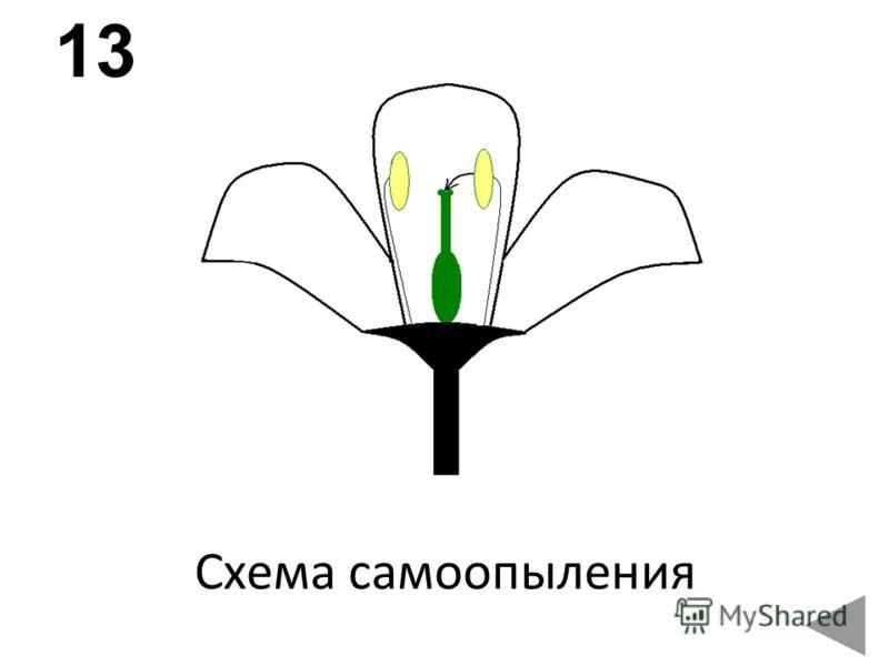 Схема самоопыления 13