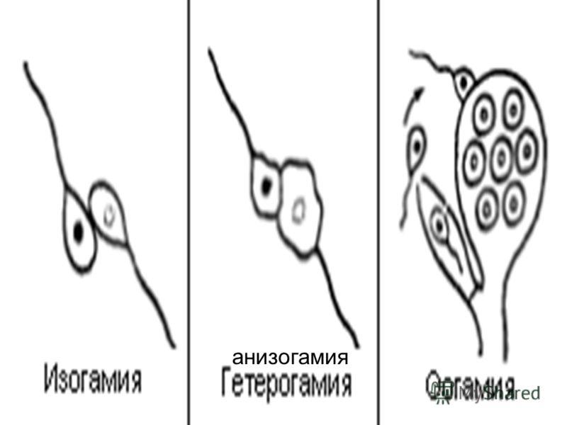 анизогамия
