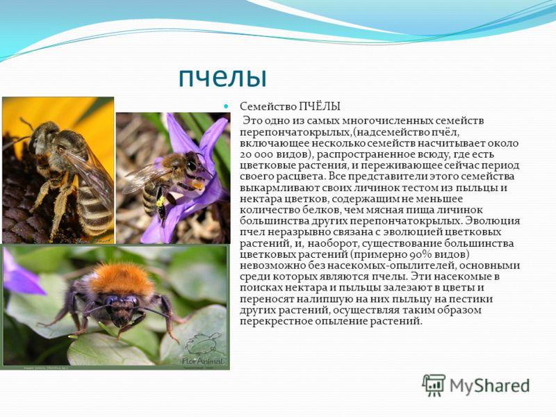 пчелы Семейство ПЧЁЛЫ Это одно из самых многочисленных семейств перепончатокрылых,(надсемейство пчёл, включающее несколько семейств насчитывает около 20 000 видов), распространенное всюду, где есть цветковые растения, и переживающее сейчас период сво