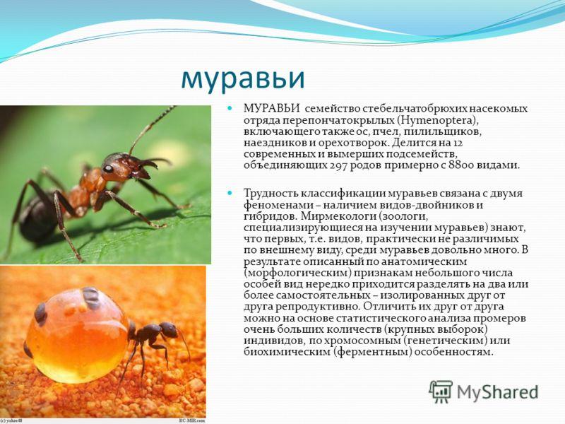 муравьи МУРАВЬИ семейство стебельчатобрюхих насекомых отряда перепончатокрылых (Hymenoptera), включающего также ос, пчел, пилильщиков, наездников и орехотворок. Делится на 12 современных и вымерших подсемейств, объединяющих 297 родов примерно с 8800