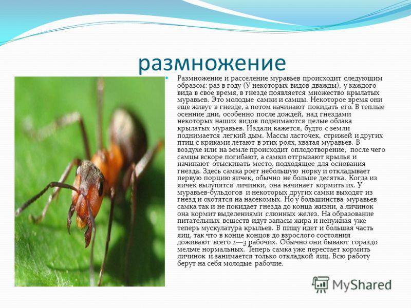 размножение Размножение и расселение муравьев происходит следующим образом: раз в году (У некоторых видов дважды), у каждого вида в свое время, в гнезде появляется множество крылатых муравьев. Это молодые самки и самцы. Некоторое время они еще живут