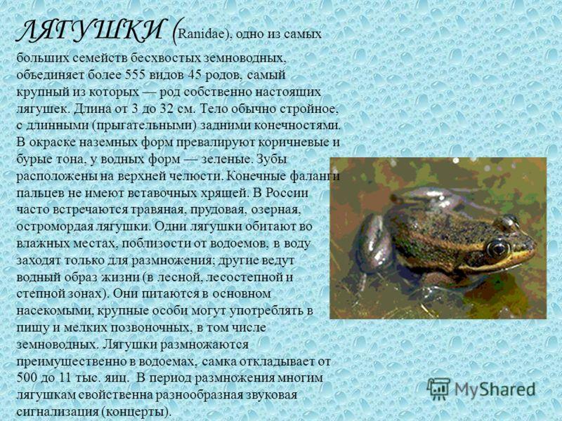 ЛЯГУШКИ ( Ranidae), одно из самых больших семейств бесхвостых земноводных, объединяет более 555 видов 45 родов, самый крупный из которых род собственно настоящих лягушек. Длина от 3 до 32 см. Тело обычно стройное, с длинными (прыгательными) задними к