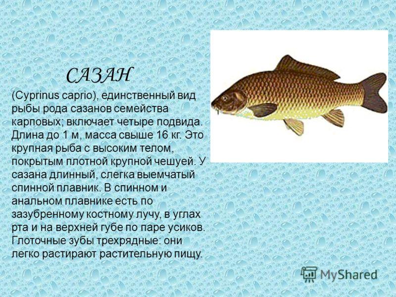 САЗАН (Cyprinus caprio), единственный вид рыбы рода сазанов семейства карповых; включает четыре подвида. Длина до 1 м, масса свыше 16 кг. Это крупная рыба с высоким телом, покрытым плотной крупной чешуей. У сазана длинный, слегка выемчатый спинной пл