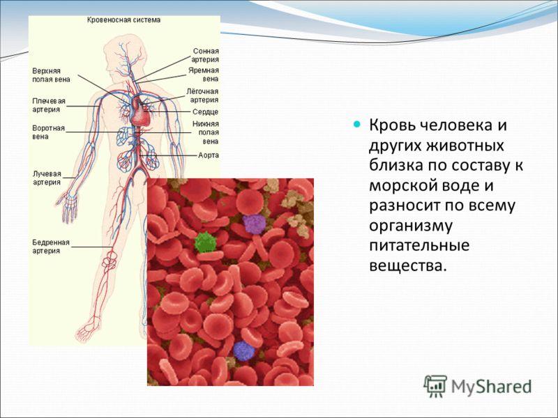 Кровь человека и других животных близка по составу к морской воде и разносит по всему организму питательные вещества.