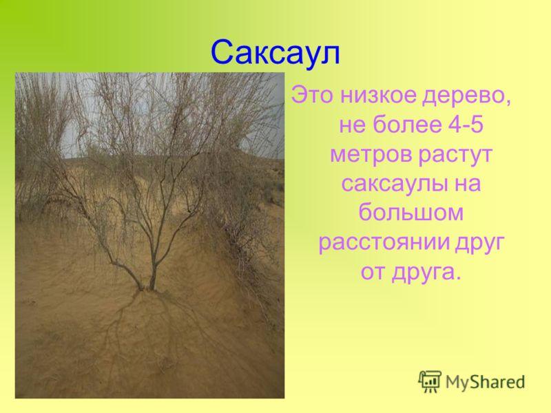 Саксаул Это низкое дерево, не более 4-5 метров растут саксаулы на большом расстоянии друг от друга.