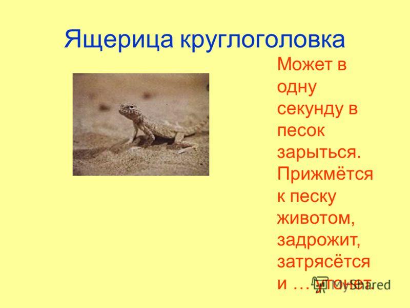 Ящерица круглоголовка Может в одну секунду в песок зарыться. Прижмётся к песку животом, задрожит, затрясётся и … утонет.