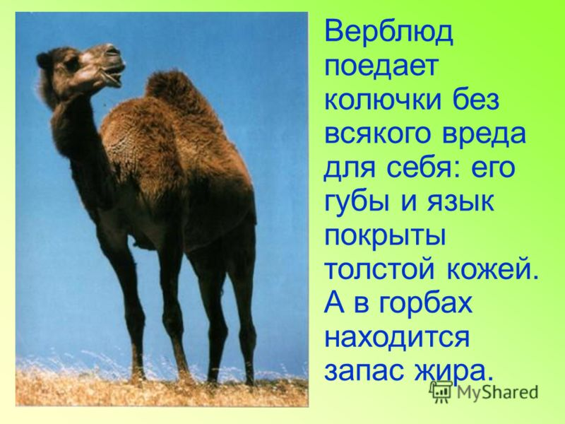 Верблюд поедает колючки без всякого вреда для себя: его губы и язык покрыты толстой кожей. А в горбах находится запас жира.