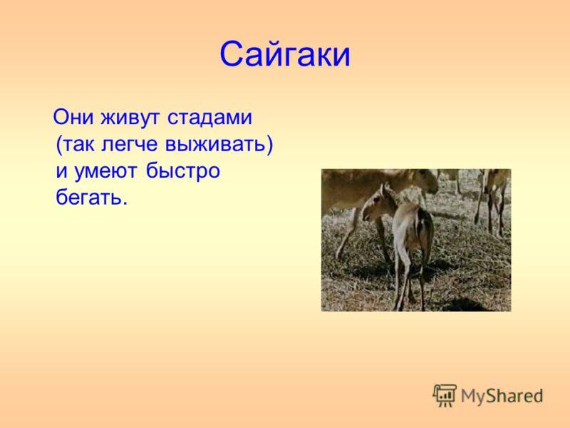 Сайгаки Они живут стадами (так легче выживать) и умеют быстро бегать.
