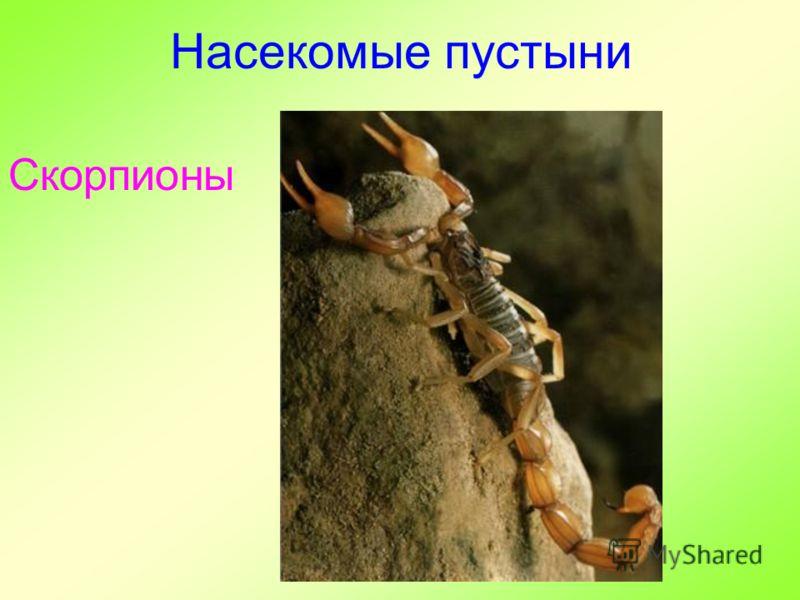 Насекомые пустыни Скорпионы