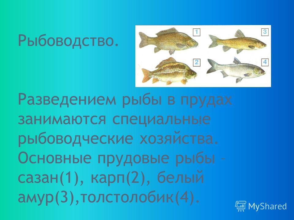 Рыбоводство. Разведением рыбы в прудах занимаются специальные рыбоводческие хозяйства. Основные прудовые рыбы – сазан(1), карп(2), белый амур(3),толстолобик(4).