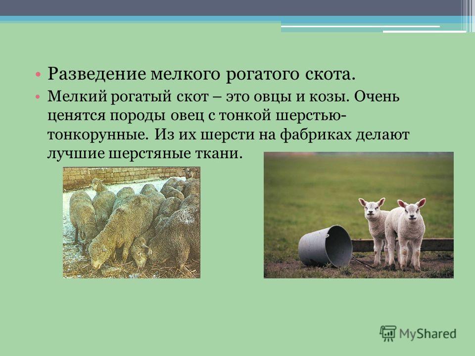 Разведение мелкого рогатого скота. Мелкий рогатый скот – это овцы и козы. Очень ценятся породы овец с тонкой шерстью- тонкорунные. Из их шерсти на фабриках делают лучшие шерстяные ткани.