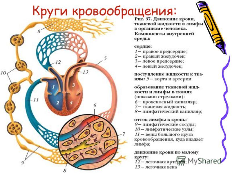 Круги кровообращения: