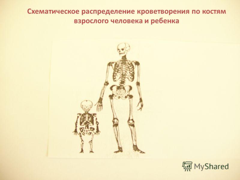 Схематическое распределение кроветворения по костям взрослого человека и ребенка