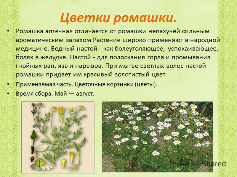 Цветки ромашки. Ромашка аптечная отличается от ромашки непахучей сильным ароматическим запахом Растение широко применяют в народной медицине. Водный настой - как болеутоляющее, успокаивающее, болях в желудке. Настой - для полоскания горла и промывани