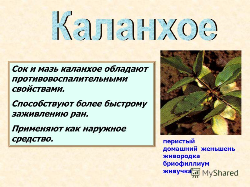перистый домашний женьшень живородка бриофиллиум живучка Сок и мазь каланхое обладают противовоспалительными свойствами. Способствуют более быстрому заживлению ран. Применяют как наружное средство.