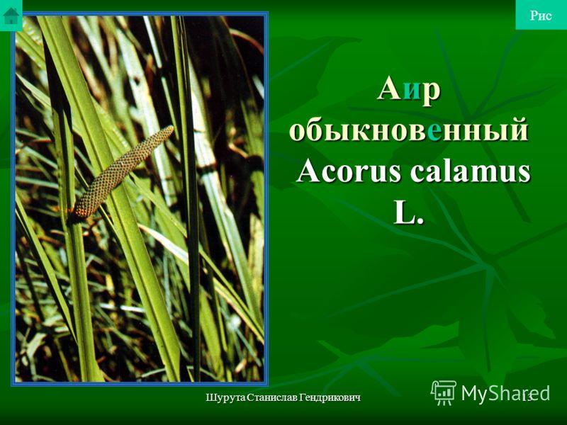 Шурута Станислав Гендрикович12 Аралия маньчжурская В медицине используют корни как стимулятор центральной нервной системы. Применяют в виде настойки. Медицинской промышленностью освоен новый препарат - сапарал. Распространена по всему Приморскому, юж