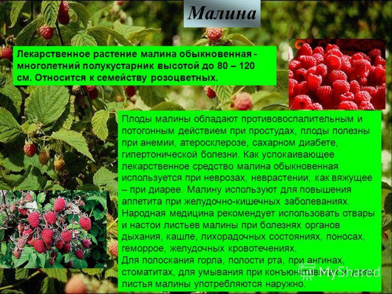 Малина Лекарственное растение малина обыкновенная - многолетний полукустарник высотой до 80 – 120 см. Относится к семейству розоцветных. Плоды малины обладают противовоспалительным и потогонным действием при простудах, плоды полезны при анемии, атеро