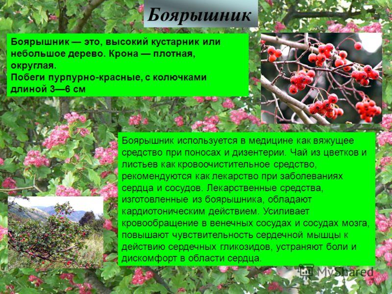 Боярышник Боярышник это, высокий кустарник или небольшое дерево. Крона плотная, округлая. Побеги пурпурно-красные, с колючками длиной 36 см Боярышник используется в медицине как вяжущее средство при поносах и дизентерии. Чай из цветков и листьев как