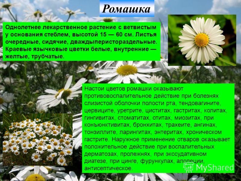 Ромашка Однолетнее лекарственное растение с ветвистым у основания стеблем, высотой 15 60 см. Листья очередные, сидячие, дваждыперистораздельные. Краевые язычковые цветки белые, внутренние желтые, трубчатые. Настои цветов ромашки оказывают противовосп