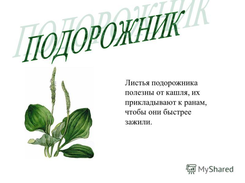 Оказывается в лесу очень много лекарственных растений, которые заваривают и пьют вместо лекарства. Какие лекарственные травы вы знаете? Травы жизни, растения – целители, зелёные друзья человека – вот сколько тёплых и даже нежных названий у лекарствен