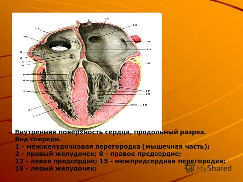 Внутренняя поверхность сердца, продольный разрез. Вид спереди. 1 - межжелудочковая перегородка (мышечная часть); 2 - правый желудочек; 8 - правое предсердие; 12 - левое предсердие; 15 - межпредсердная перегородка; 18 - левый желудочек;