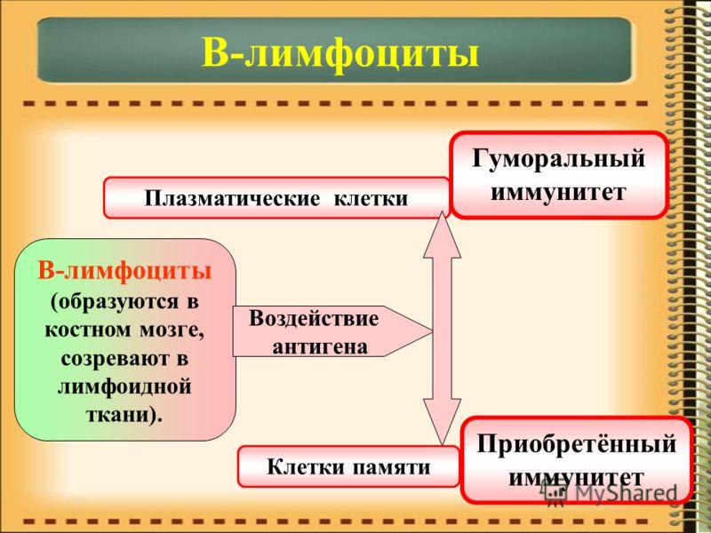 В-лимфоциты В-лимфоциты (образуются в костном мозге, созревают в лимфоидной ткани). Воздействие антигена Плазматические клетки Клетки памяти Гуморальный иммунитет Приобретённый иммунитет