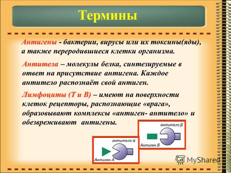 Термины Антигены - бактерии, вирусы или их токсины(яды), а также переродившиеся клетки организма. Антитела – молекулы белка, синтезируемые в ответ на присутствие антигена. Каждое антитело распознаёт свой антиген. Лимфоциты (Т и В) – имеют на поверхно