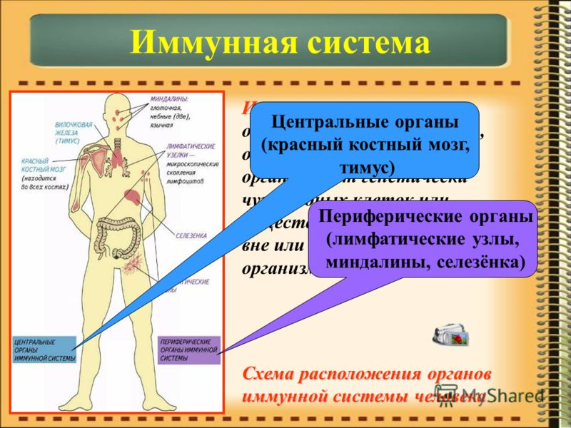 Иммунная система – Иммунная система – объединяет органы и ткани, обеспечивающие защиту организма от генетически чужеродных клеток или веществ, поступающих из вне или образующихся в организме. Центральные органы (красный костный мозг, тимус) Периферич