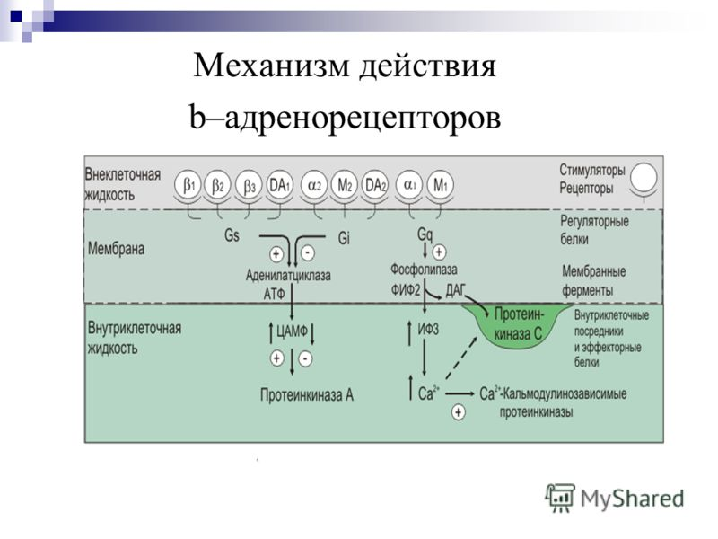 Механизм действия b–адренорецепторов