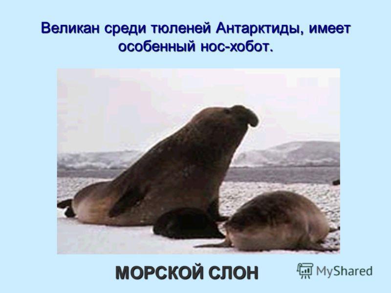 Великан среди тюленей Антарктиды, имеет особенный нос-хобот. МОРСКОЙ СЛОН