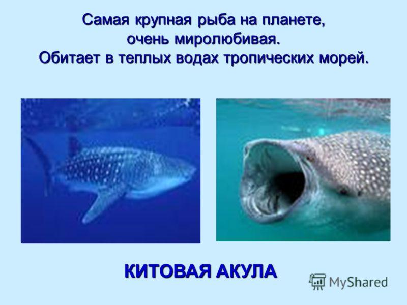 Самая крупная рыба на планете, очень миролюбивая. Обитает в теплых водах тропических морей. КИТОВАЯ АКУЛА