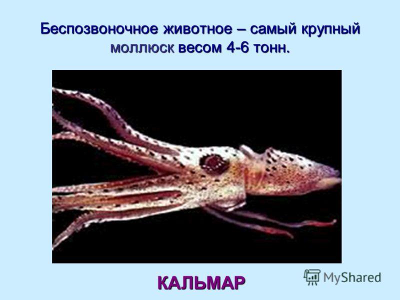 Беспозвоночное животное – самый крупный моллюск весом 4-6 тонн. КАЛЬМАР
