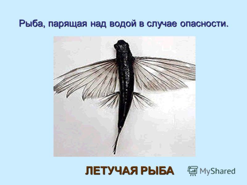 Рыба, парящая над водой в случае опасности. ЛЕТУЧАЯ РЫБА