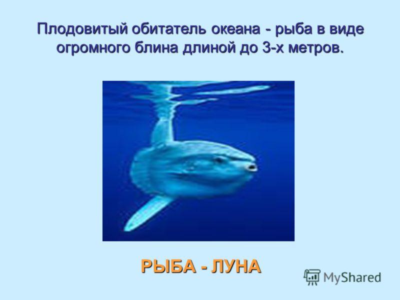 Плодовитый обитатель океана - рыба в виде огромного блина длиной до 3-х метров. РЫБА - ЛУНА